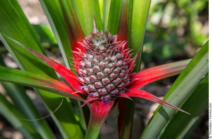 Ananas-Blüte im Feld