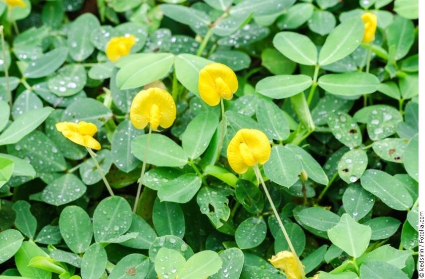Erdnusspflanzen mit gelben Blüten