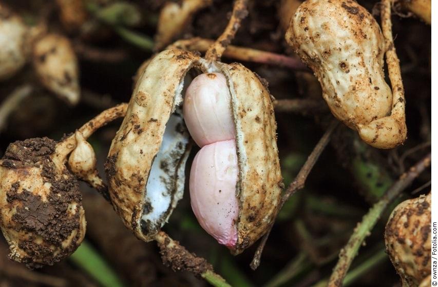 Erdnuss-Frucht frisch aus der Erde