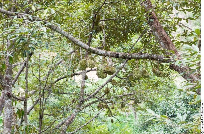Durianbäume mit Früchten