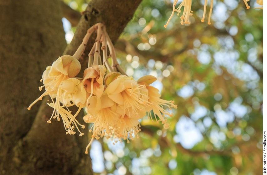 Durianbaum mit Blüten