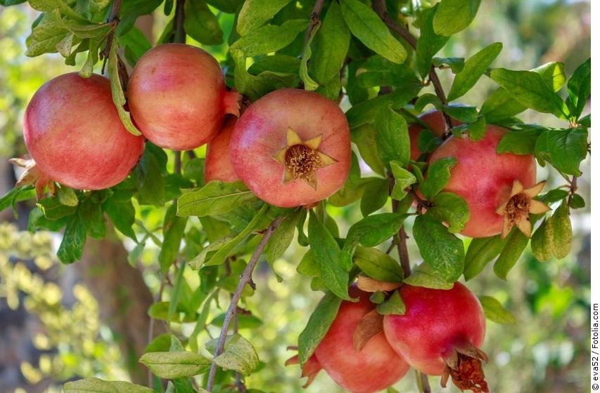 Granatapfelbaum mit Früchten