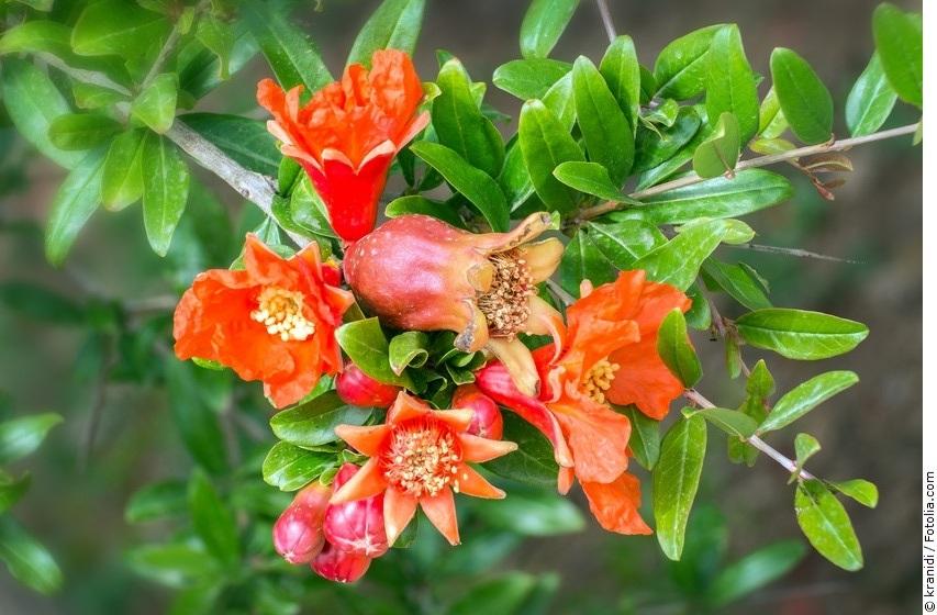 Granatapfelbaum mit roten Blüten
