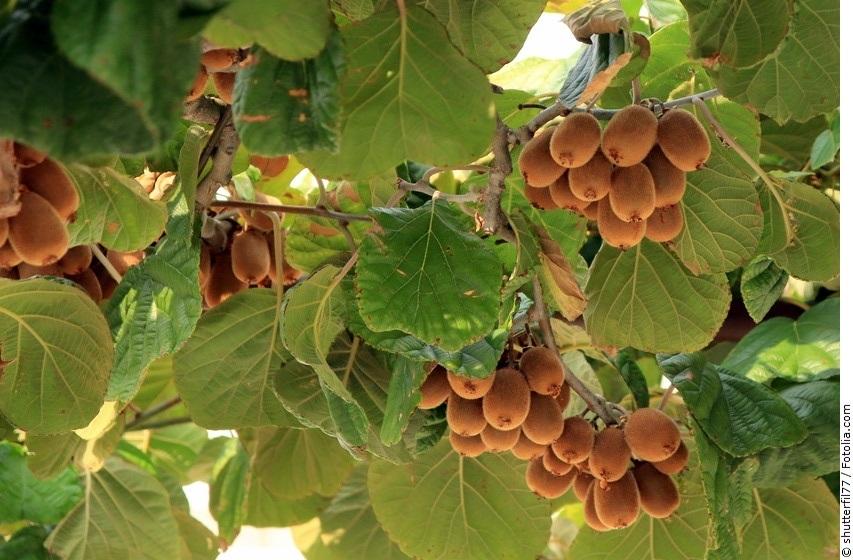 Kiwipflanze mit ausgereiften Früchten