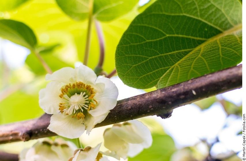 Kiwipflanze mit weißen Blüten