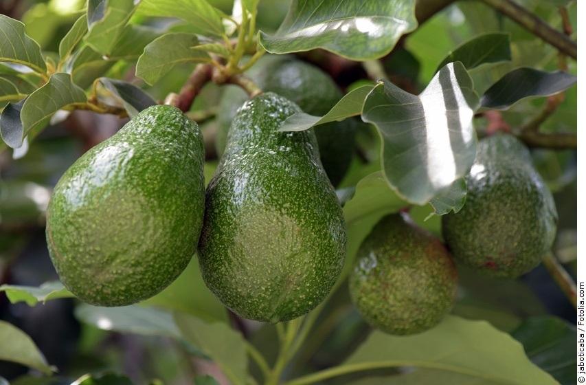 Avocadobaum mit Früchten
