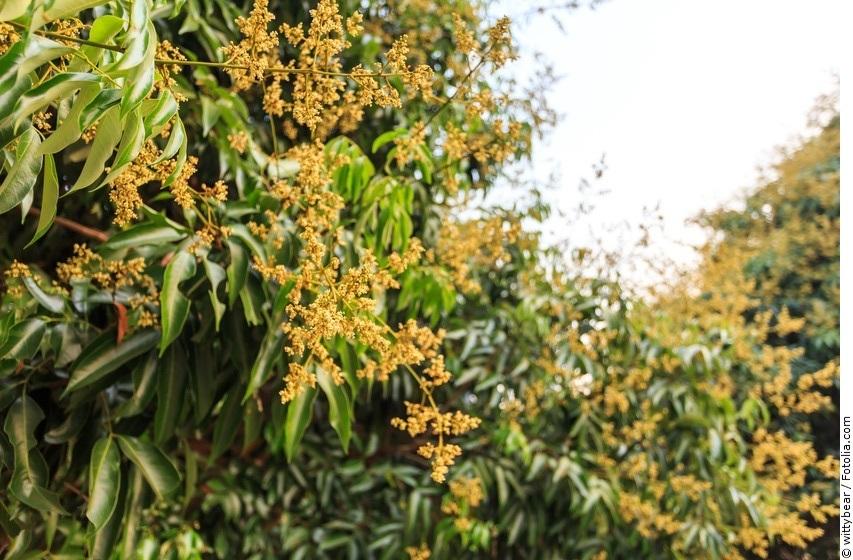 Litschi-Baum mit Blüten