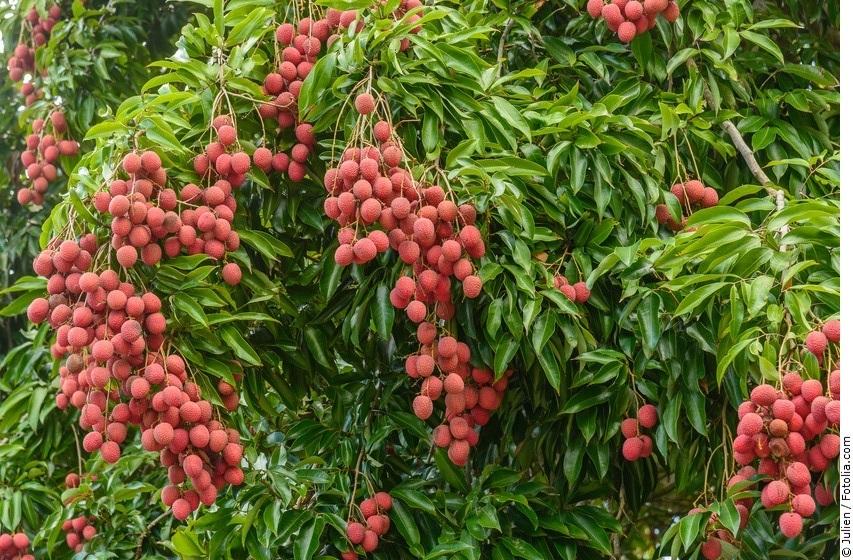 Litschi-Baum mit reifen Früchten