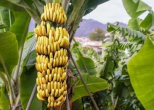 Bananenstaude mit reifen Früchten