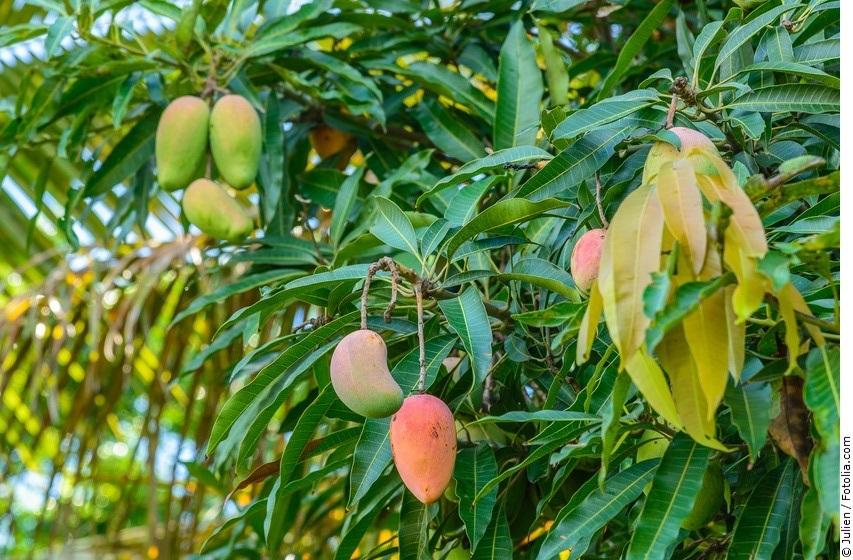 Mango-Früchte am Baum