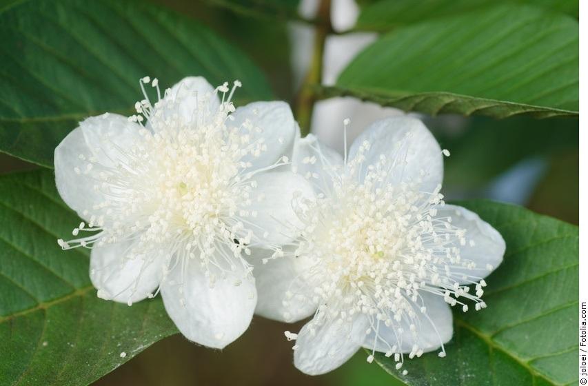 Guaven-Blüten am Baum