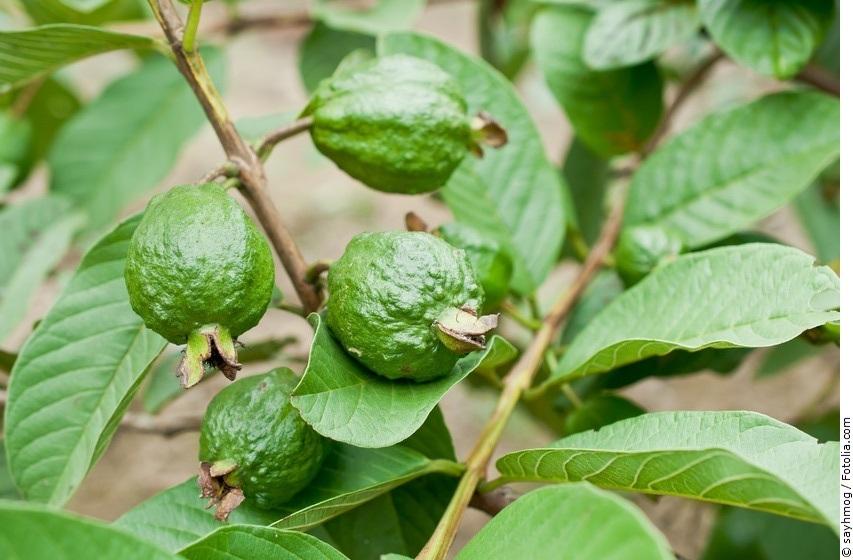 Unreife Guaven-Früchte am Baum