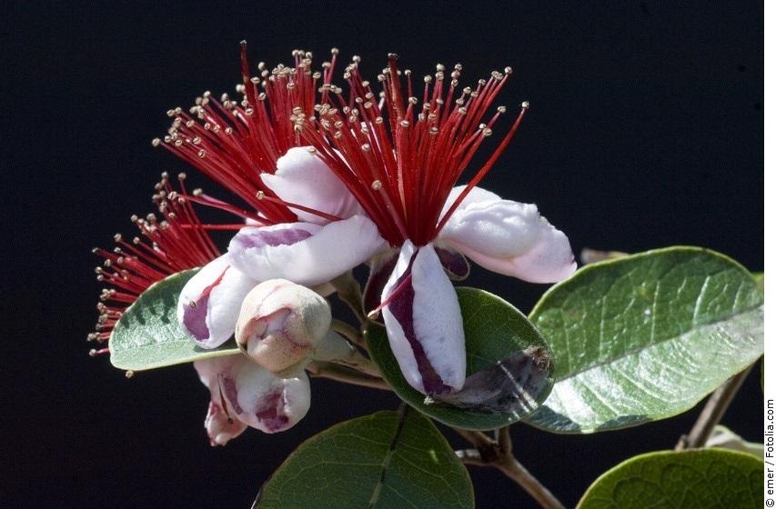 Feijoa-Baum mit Blütenstand