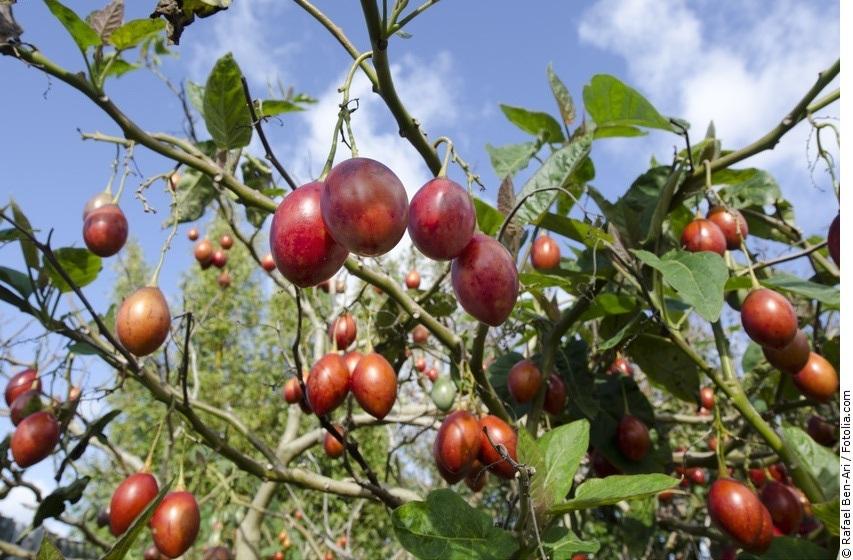 Tamarillo-Pflanze mit Früchten